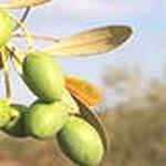 Растительное масло из оливок