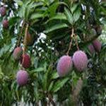 полезный фрукт манго
