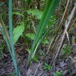 Корень аира болотного лечебные свойства и противопоказания для мужчин детей при беременности