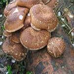 Шиитаке - гриб здоровья