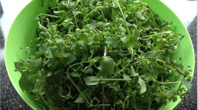 Чем полезна трава мокрица