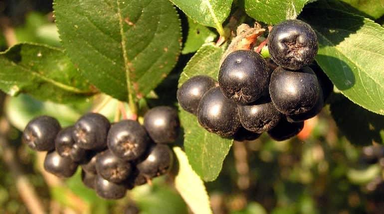 Лечебные свойства черноплодной рябины