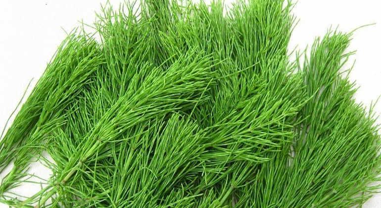 Полезные свойства полевого хвоща
