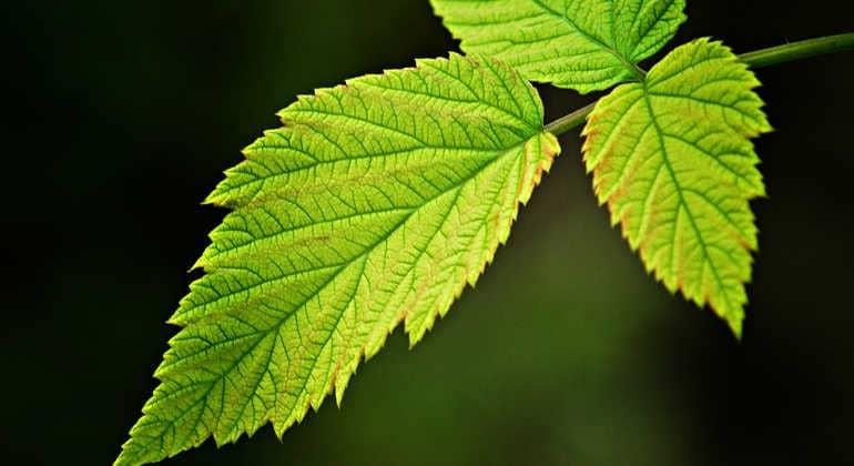 Чем полезны листья малины